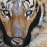 Bartiger by WWF/ Franko Petri/ David Prokop